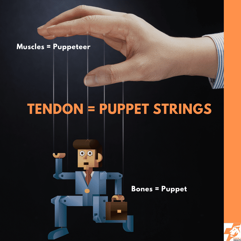 what is a tendon and what do tendons do? this image shows how they are like puppet strings