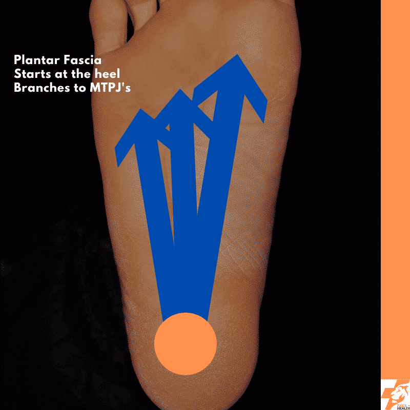 anatomy of the plantar fascia for plantar fasciitis treatment